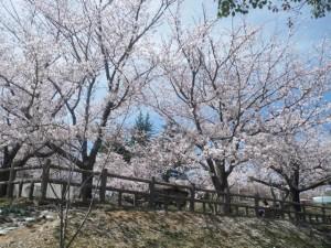 南公園の桜 市民プールの近辺(13/4/3)