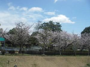 南公園の桜 テニスコートから交通広場をパシャッ(13/4/3)