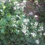 家の庭「大根の花(2013/4/14)」