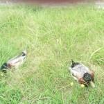 南公園(2013/6/9)「草の上で一休みしている鴨」