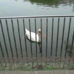 南公園(2013/6/9)「白鳥」