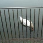 南公園(2013/6/9)「エサを食べている白鳥」