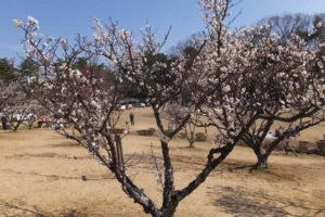 南公園の梅林「ピンクの梅(2019/3/2)」
