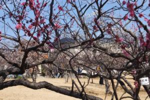 南公園の梅林「色は白、ピンク、紅といろいろ(2019/3/2)」