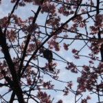 広島・縮景園 彼岸桜とメジロ(2019/3/15)