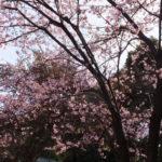 広島・縮景園 彼岸桜(2019/3/15)