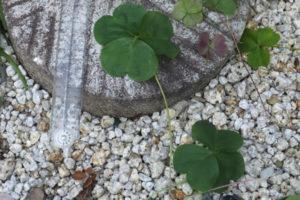 家の庭 三つ葉のクローバー・・・ではなくカタバミ科・カタバミ属のオキザリス(2019/10/28)