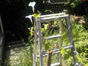 家の庭のアサガオ(2021/7/17)