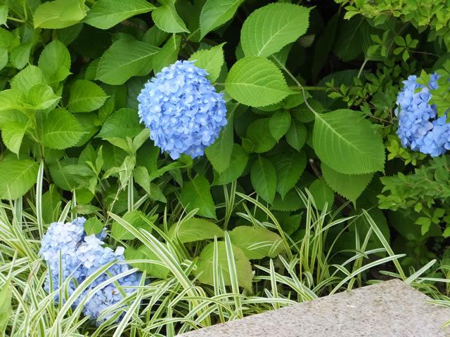 アジサイ(刈谷にて 2015/6/7)
