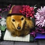 profile画像「赤帽子をかぶったわんこ、お花に囲まれて(2016/11/1)」
