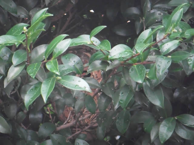 スズメバチの巣(2013/9/5)