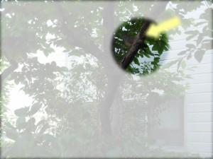 家の敷地内に鳩「柿の木の上(2014/5/7)」