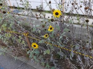 向日葵(ひまわり 2014/12/13)ヒマワリ