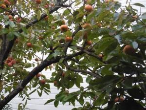 家の柿(2013/11/28)