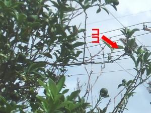 ミカンの木とアゲハ(2013/9/14)