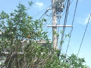 ミカンの木(2013/9/14)一つだけオレンジ色に