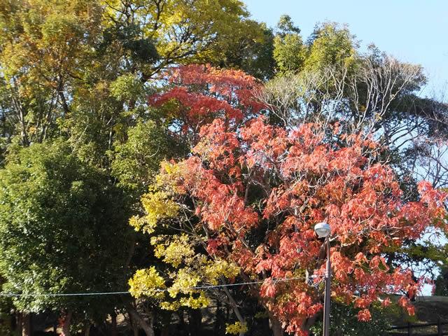 南公園の紅葉&黄葉&緑葉(2014/11/28)