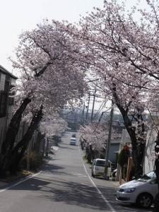 南公園「グランド側駐車場へ向かう桜トンネル(2015/3/31)」