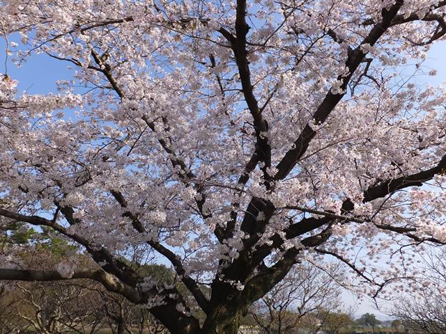 南公園「桜満開(2015/3/31)」
