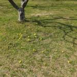 南公園「梅林の芝生に生えているタンポポ(2015/3/31)」
