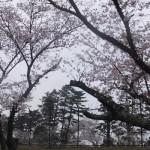 南公園の桜(2016/4/2)
