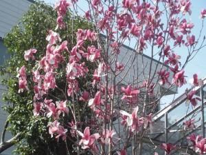 ニシキモクレンの木
