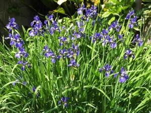 家の庭「菖蒲の花」(2015/4/30)