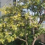自宅の庭2012/12/23「金柑」