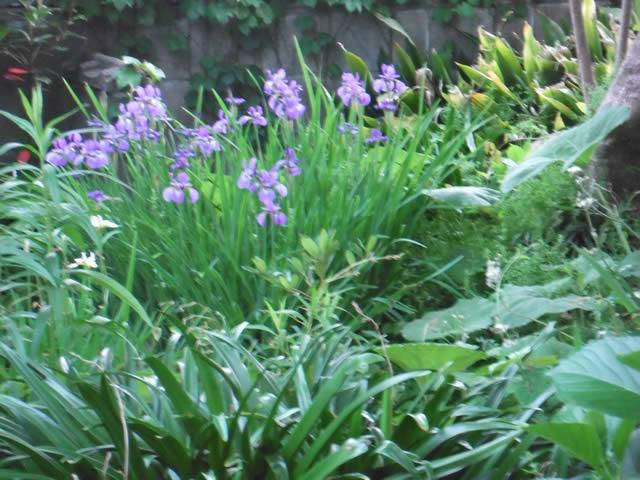 家の庭「花菖蒲(2014/5/4)」