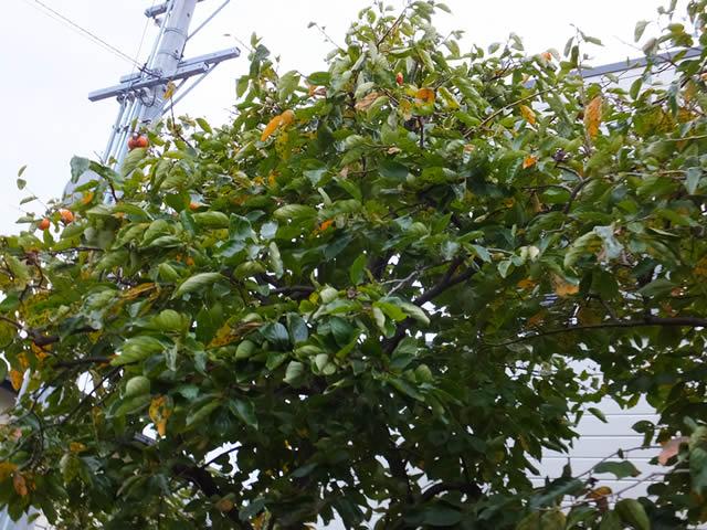 家の庭「柿の木(2014/10/31)」