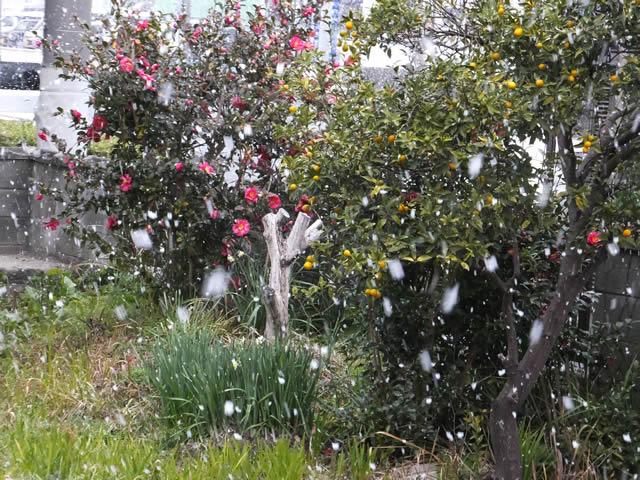家の庭「雪が降ってきました(2015/1/1 PM15時頃)