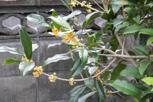 家の庭「金木犀(キンモクセイ)」2016/10/23