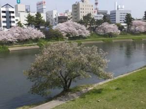 乙川の桜(2016/4/9)
