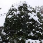 白川郷 雪に飾られた木(2018/12/9)