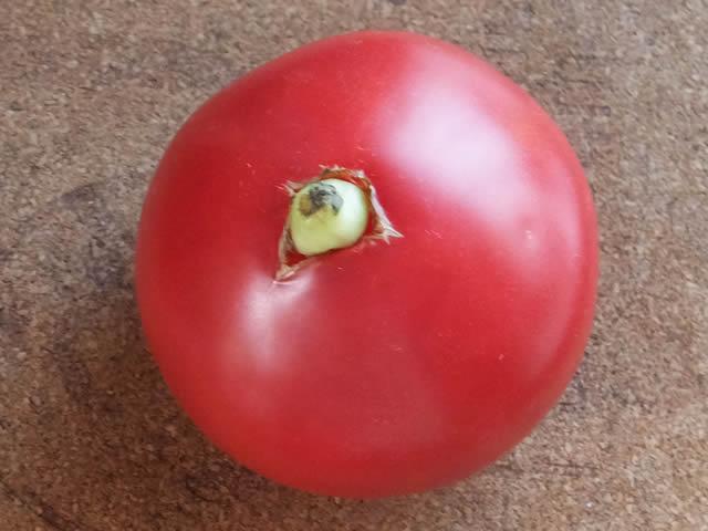 トマトから芽がでている?