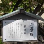 上地八幡宮「鬱金桜・左近桜(2016/4/16)」