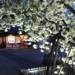 上地八幡宮「桜まつり・鬱金桜(2017/4/16)」